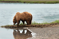 Brown bear on the bank of a river in Alaska. Wildlife and nature photography wall art. Fine art photography prints or sale.
