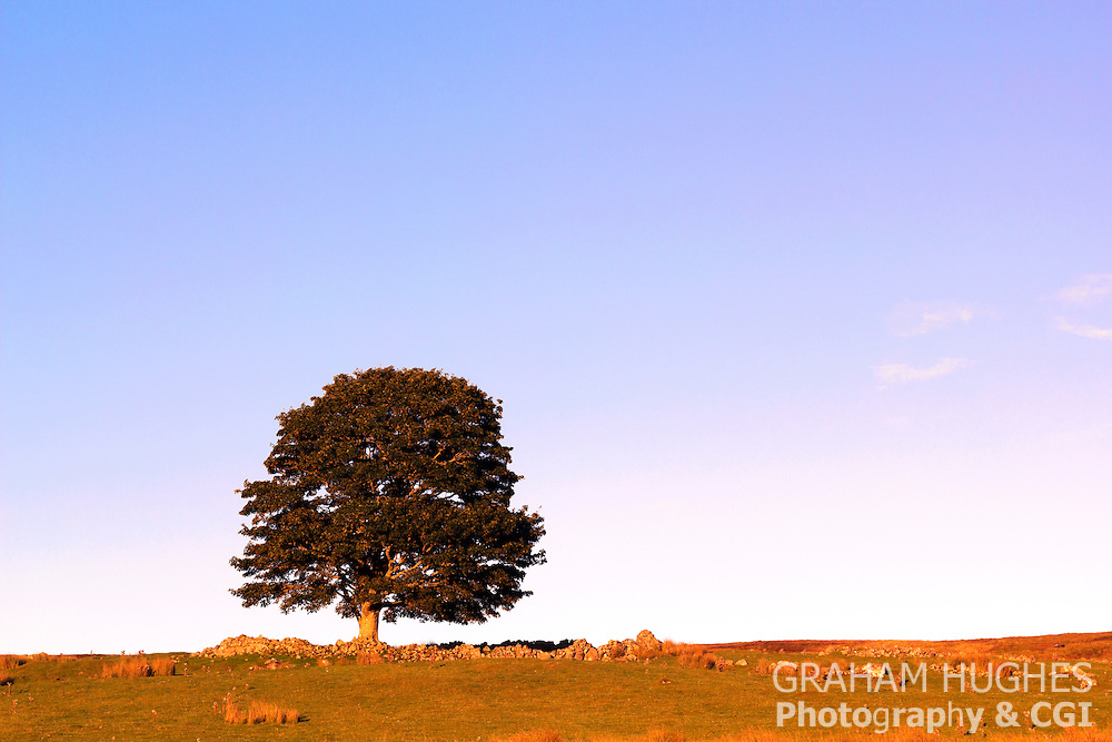 Tree and stone wall in field. Golden hour light and blue sky. Near Rogart, Scotland, UK.