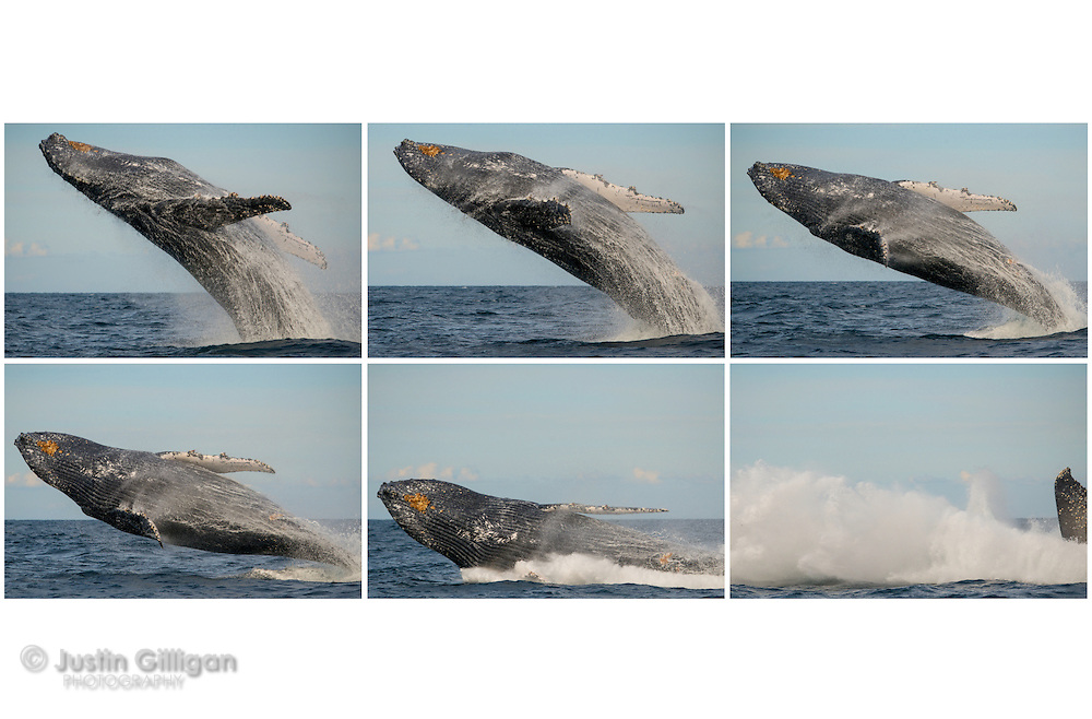 A breaching humback whale sequence photographed off the coast of Port Stephens, New South Wales, Australia.