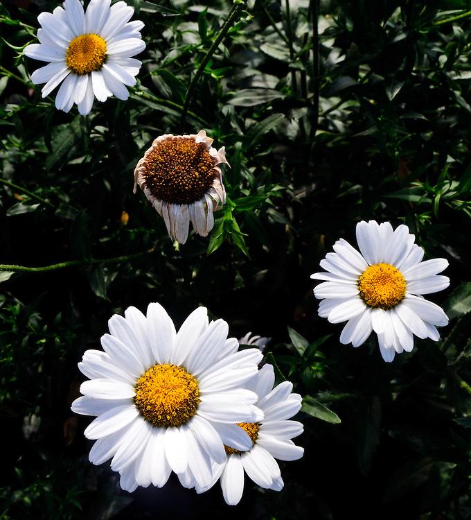 Blühende und und eine verblühte MARGERITE - Leucanthemum vulgare. - Die Margerite wird nicht selten irrtümlich Margarite genannt  |  blooming oxeye daisies and a fading one|