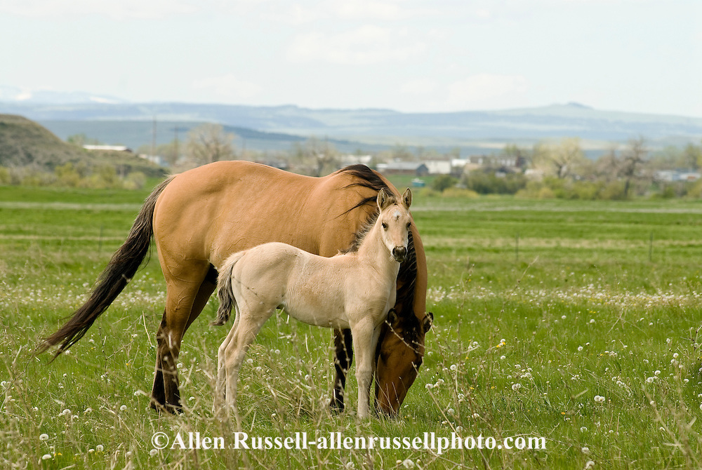 Quarter Horses, Buckskin mare and foal<br /> PROPERTY RELEASED