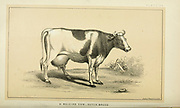 Dutch Breed dairy Cow from Cattle and dairy farming. Published 1887 by Govt. Print. Off. in Washington. United States. Bureau of Foreign Commerce (1854-1903)