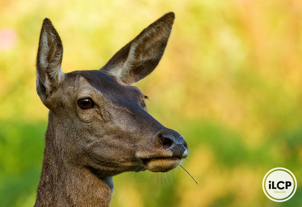 Iberian Red Deer (Cervus elaphus hispanicus) female chewing on grass, Sierra de Andujar Natural Park, Sierra de Andujar, Sierra Morena, Andalusia, Spain