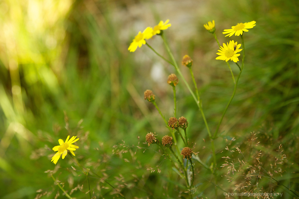 An insect investigates yellow daisies among the grass of a neearby river bed