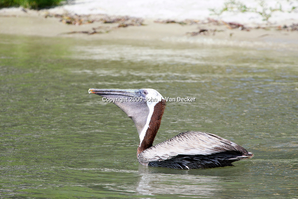 Brown Pelican with full pouch