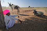 Rajasthani farmer watching his cows in the Thar desert near Jodhpur, India.