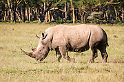White rhinoceros or Square-lipped rhinoceros (Ceratotherium simum) Photographed in Tanzania