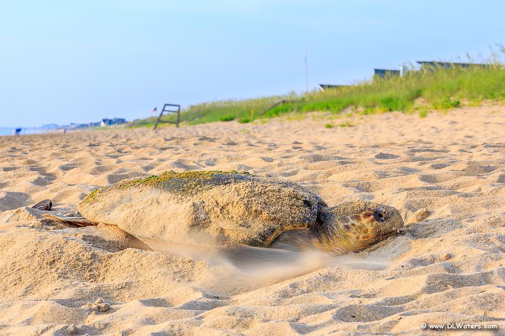 Loggerhead sea turtle covering her eggs in  Duck on an Outer Banks beach.