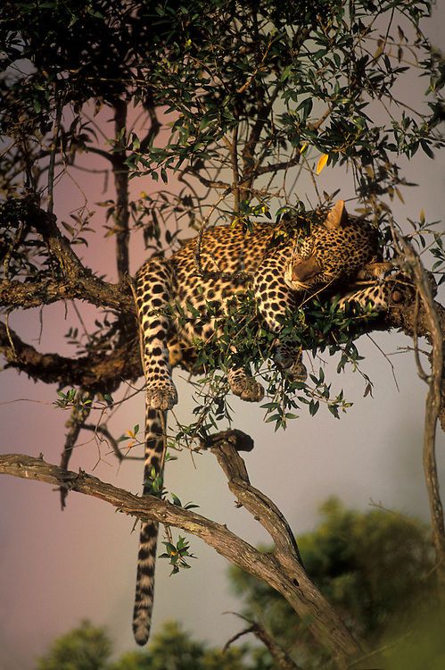 Kenya, Masai Mara Game Reserve, Adult Adolescent Male Leopard (Panthera pardus) sleeping in tree by rainbow