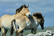 Breeding herd of Przewalski horses in Cervennes region of France to ship back to Mongolia