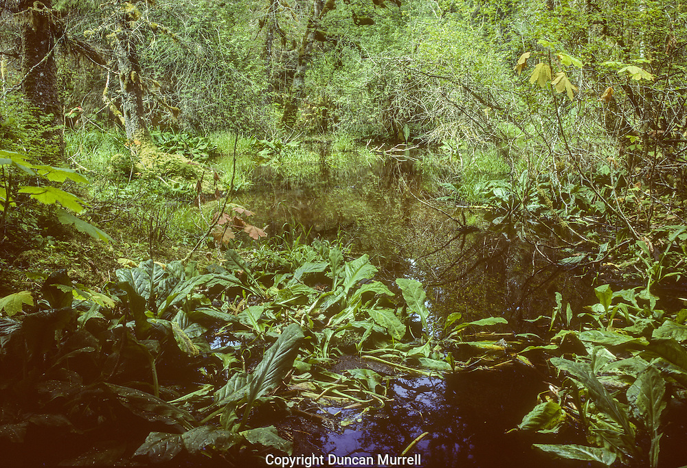 Beavers open up the dark dense forests with their dams and ponds, creating a different habitat for other plants and animals to thrive in.