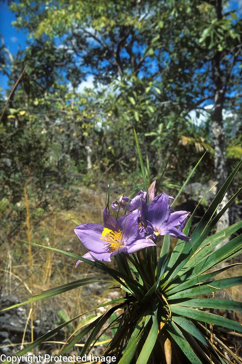 Flowering plant Vellozia variabilis of the Velloziaceae family in wooded savanna called cerrado in Chapada dos Veadeiros, Goias, Brazil
