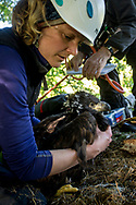White Tailed Eagle (Haliaeetus albicilla) pair of chicks in nest being ringed by ringers. Biological measurements being taken, weight