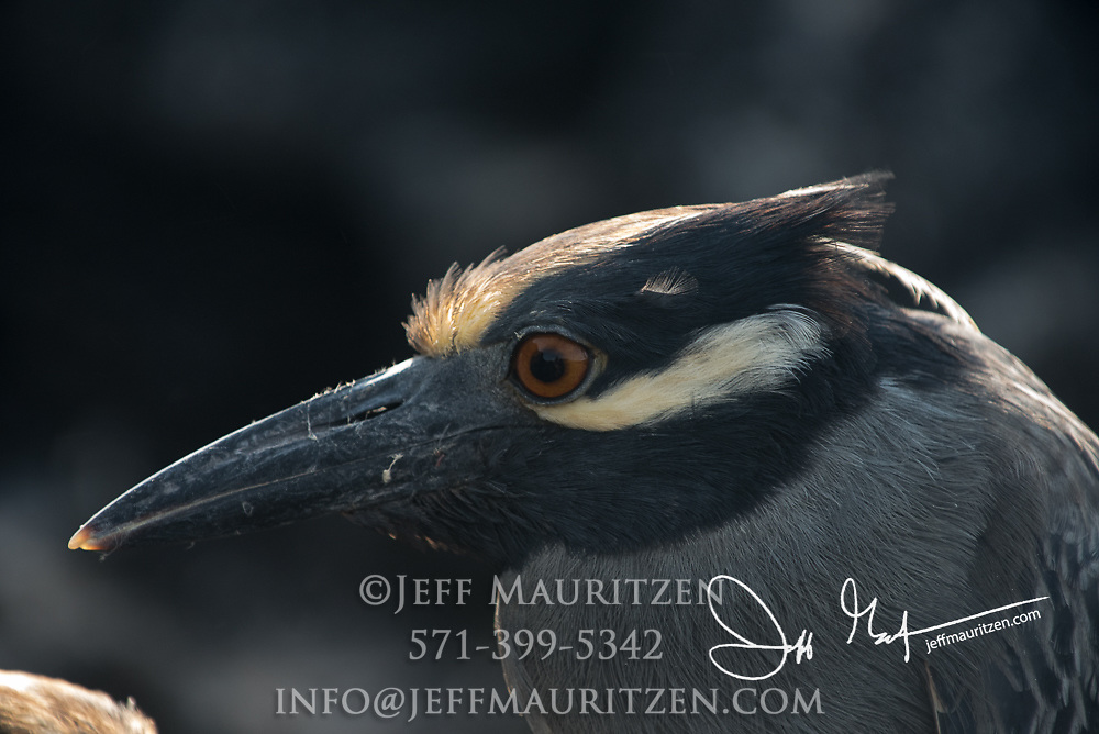 A Yellow-crowned night heron on Genovesa island, part of the Galapagos archipealgo of Ecuador.