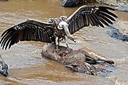 Ruppells Griffon Vulture (Gyps rueppellii) feeding from a dead Wildebeest in Mara River, Kenya.