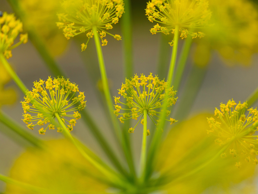 FENNEL - HINOJO  (Foeniculum vulgare), Campanarios de Azaba Biological Reserve, Salamanca, Castilla y Leon, Spain, Europe