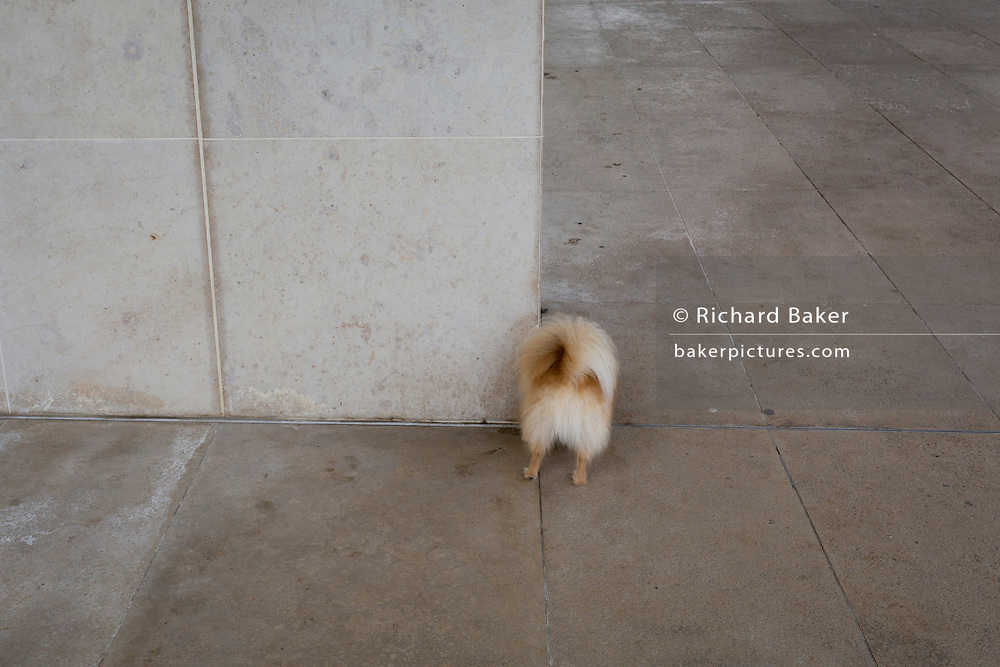 The rear of a toy dog breed as it sniffs a corner of the concrete entrance of the Design Museum, on 17th November 2019, in London, England.