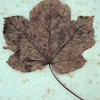Close up of brown autumn leaf of Sycamore or Great maple or Acer pseudoplatanus tree with black spots lying on antique paper