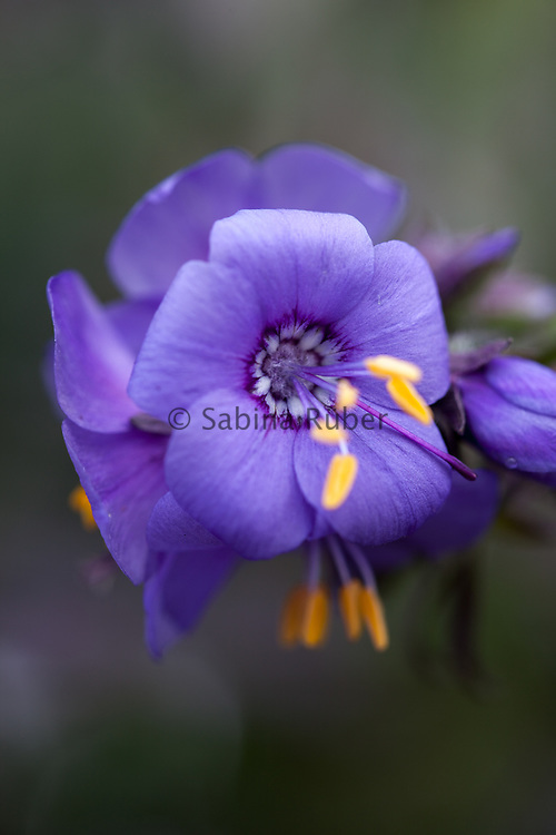 Polemonium yezoense var. hidakanum 'Purple Rain' - Japanese Jacob's ladder