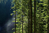 Spruce trees along the trail in Wallace Falls State Park, Washington, USA