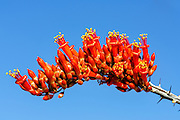 Ocotillo bloom in Joshua Tree National Park