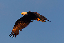 Bald Eagle (Haliaeetus leucocephalus) flies with a blue sky background in the morning, Lake Clark National Park, Alaska, United States of America