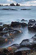 Orange seastars (Stichaster australis) exposed along the West Coast, New Zealand