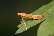 Micro moth - Caloptilia betulicola