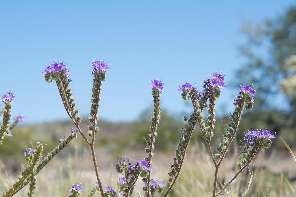 Found throughout many parts of the Arizona and California, I kept running into this beautiful and often overlooked wildflower in the driest parts of the Sonoran Desert in arroyos and roadsides. This one was found outside of Organ Pipe Cactus National Monument.