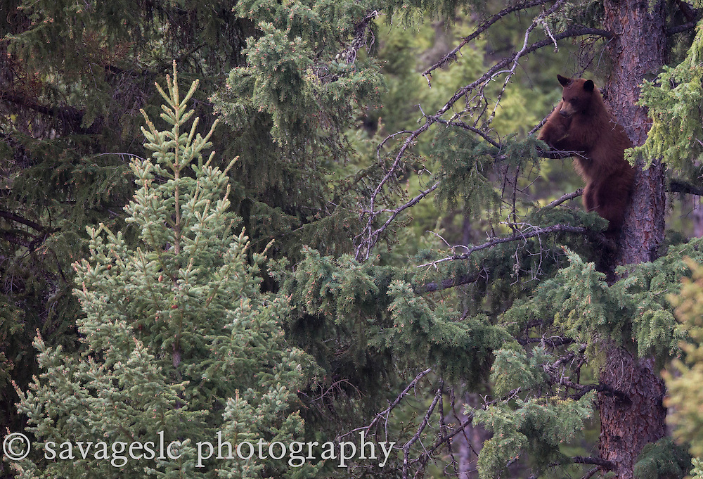 A cinnamon black bear gets a treetop view of the evergreens. Yellowstone National Park  May 2013