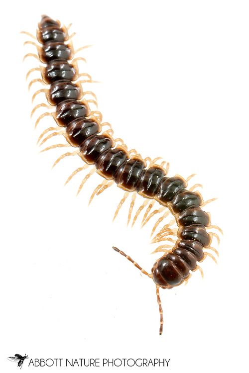 Greenhouse Millipede (Oxidus gracilis)<br /> United States: Alabama: Tuscaloosa Co.<br /> Tulip Tree Springs off Echola Rd.; Elrod<br /> 31-May-2017<br /> J.C. Abbott #2955