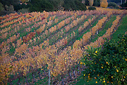 Thanksgiving time, Napa CA