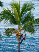 Polynesian Man Trimming Coconut palm tree, Lahaina, Maui, Hawaii