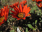 Namaqualand, West coast, Northern Cape, South Africa..Pictures Zute & Demelza Lightfoot