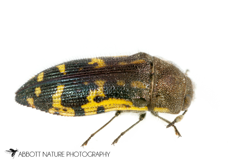 Metallic Wood-boring Beetle (Acmaeodera pulchella)<br /> United States: Alabama: Tuscaloosa Co.<br /> Tulip Tree Springs off Echola Rd.; Elrod<br /> 24-May-2017<br /> J.C. Abbott #2951