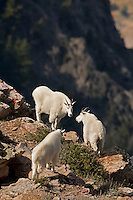 Early September alone the Wasatch front in northern Utah a group of Mountain Goats travel across the high cliffs in their search for food.