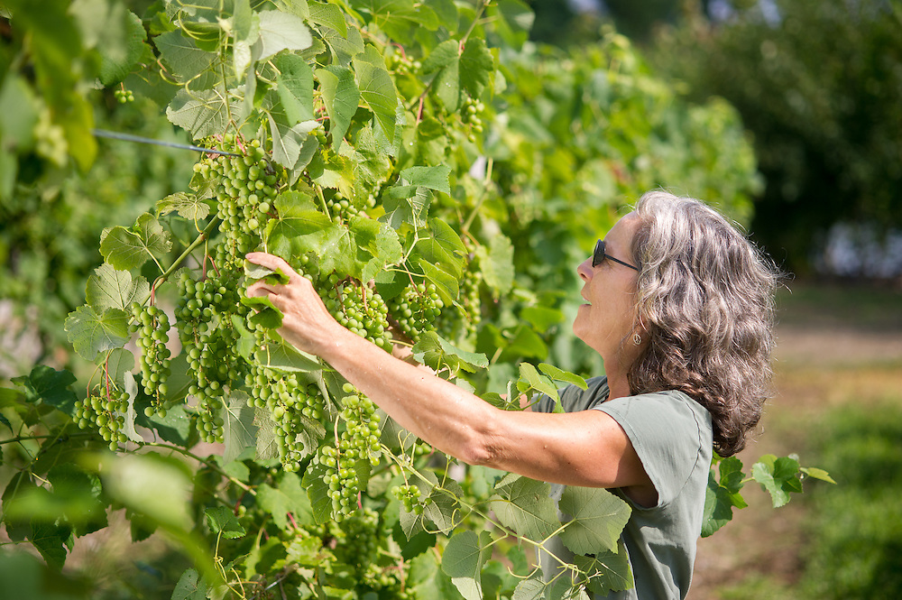 Woman Farmer inspecting grapes<br /> Northeast PA