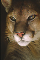 Mountain Lion, Felis concolor.  Found in all forested ecosystems but prefers rocky canyons and foothills.