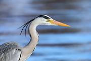 Headshot of Gray Heron | Portrett av Gråhegre.