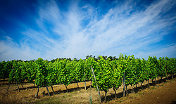 Vineyard in the Cotes de Duras, Lot et Garonne, Aquitaine, France<br /> <br /> (c) Andrew Wilson | Edinburgh Elite media