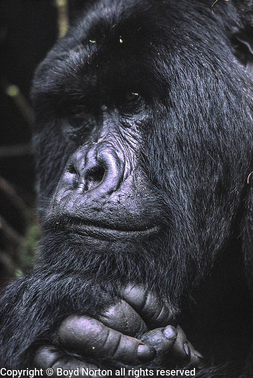 Mountain gorilla, Volcanoes National Park, Rwanda; family;