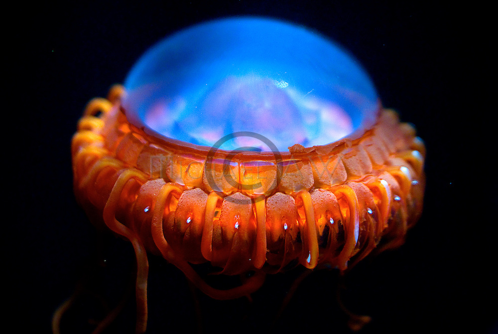 Deep Sea jellyfish.Atolla gigantea.Celebes Sea