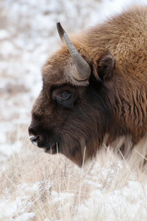 Wisent (Bison bonasus, European bison) during the winter in National Park Zuid-Kennemerland, kraansvlak. The Netherlands. January 2013.
