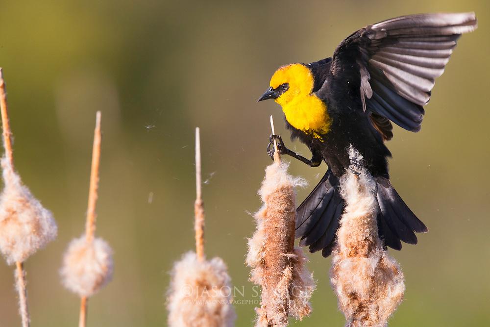 Yellowheaded Blackbird, Montana.