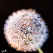 close-up, macro photography detail photograph of dandelion flower, weed, seed.