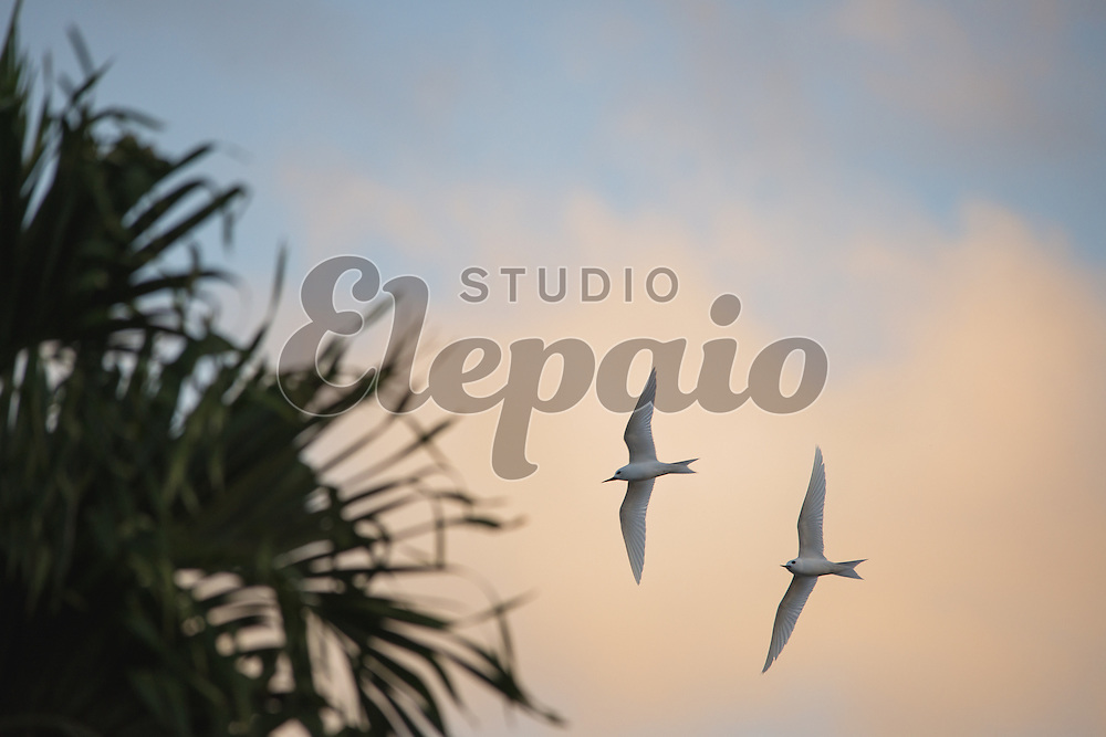 A pair of white tern (Gygis alba), or manu-o-ku in Hawaiian, in flight. The official bird of Honolulu. Photographed in Honolulu, Hawaii.
