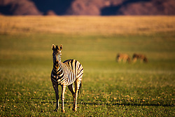 Burchell's zebra (Equus quagga) grazing on a grassy plain in the wet season of the Namib Desert, Namib Desert, Namibia, Africa