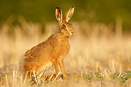 European Hare (Lepus europaeus) adult, South Norfolk, UK.