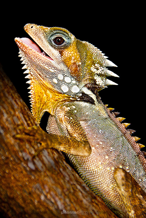 Boyd's Forest Dragon (Hypsilurus boydii) is a nocturnal arboreal lizard native to northern Queensland, Australia.