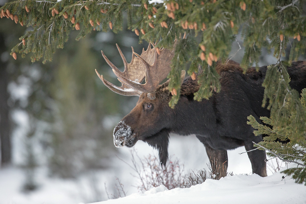 A bull moose pauses for a moment under a large pine on a snowy Christmas morning in the Shoshone National Forest.